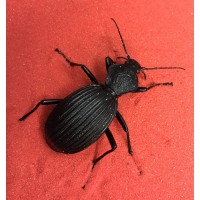 Giant African Ground Beetle (Tefflus species) Adult
