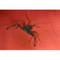 African Tail-less Whip Scorpion Damon species (probably variegatus) Adult/Sub-adult