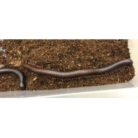 Madagascar Giant Tiger Striped Millipede (Unknown species) Adult/Sub adult