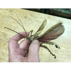 Jungle Nymph Stick Insect (Heteropteryx dilatata) Adult Male (matured May/June 2017)
