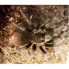Phormictopus cubensis - Cuban Gold Birdeating Tarantula