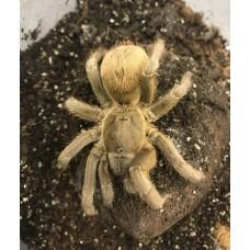Stichoplastoris species - Nicaragua Gold Tarantula