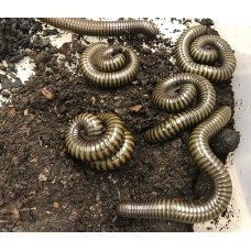 Giant Green African Millipede (Unknown species) Adult