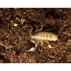 Wood Scorpion (Euscopius tergestinus) Adult