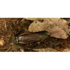 Florida Woods Cockroach (Eurycotis floridana)  Nymph