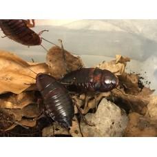 Florida Woods Cockroach (Eurycotis floridana)  Adult