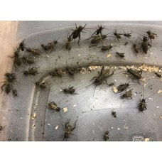 Crickets per tub / Mixed sizes (various species)
