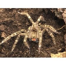 African Red Fang Spider (Ctenus africanus) Adult