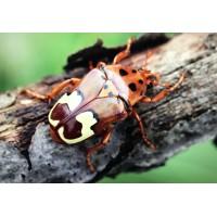 Tanzania Flower Beetle (Genyodonta lequeuxi) Large Larva