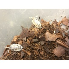 Dairy Cow Isopod (Porcellio laevis) x 10 (medium/large)