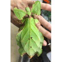 Giant Malaysian Leaf Insect (Phyllium giganteum) Eggs x6