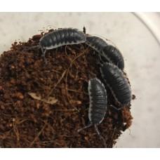 Seville Giant Miniskirt Isopod (Porcellio sevilla) x 3 (various sizes)