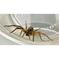 Miami Wolf Spider (Hogna species 'Miami') Large Juvenile