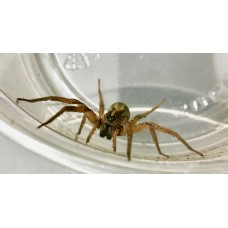 Miami Wolf Spider (Hogna species 'Miami') Adult female