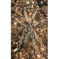 Chilobrachys sp. Kaeng Krachan - Dark Earth Tiger Tarantula - Adult Male (Matured unknown 2018)