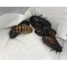 Fancy Hissing Cockroaches (Various species) / A family group (at least 2 adults & 2 babies )