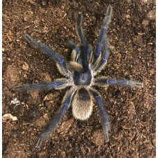 Monocentropus Balfouri - Socotra Island Blue Tarantula - Adult Male (Matured February 2019)