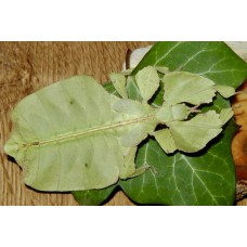 Seychelles Leaf Insect (Phyllium bioculatum) Nymph