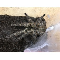 Poecilotheria regalis - Indian Ornamental Tarantula - Adult Male (Matured unknown but he looks very fit, health)