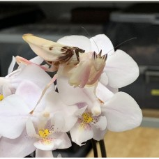 Orchid  Praying Mantis (Hymenopus coronatus) Adult female (collection only)