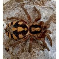 Hapalopus species - Pumpkin Patch Tarantula