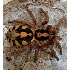 Hapalopus species - Pumpkin Patch Tarantula