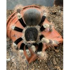 Nhandu coloratovillosus - White Striped Birdeating Tarantula