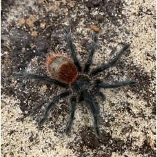 Grammostola iheringi - Entre Rios Tarantula