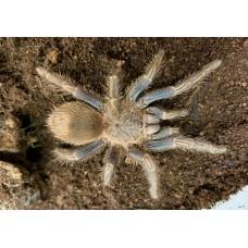 Thrixopelma cyaneolum –Cobalt Red Rump Tarantula