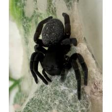 Velvet Spider (Gandanameno species) Large Female