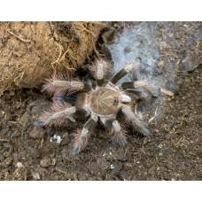 Pamphobeteus sp. Mascara - Manabi Birdeating Tarantula