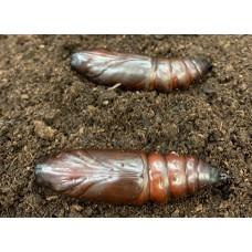 Deaths-head Hawkmoth (Acherontia atropos) Pupa (chrysalis)