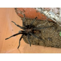 Davus species - Tiger Rump Tarantula - Adult Male (matured May 2019)