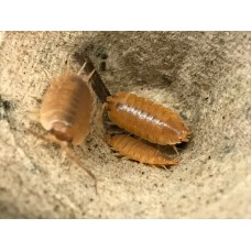 Spanish Giant Orange Isopod (Porcellio scaber) x 3 (various sizes)