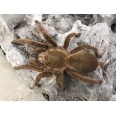 Chilobrachys huahini - Thai Red Tarantula